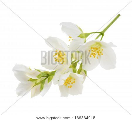 Jasmine flower isolated on white background. close up