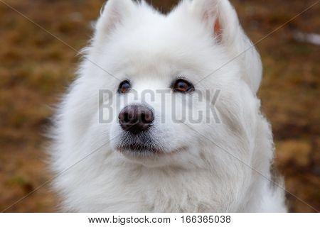 White Samoyed Dog Puppy Whelp Close Up Portrait