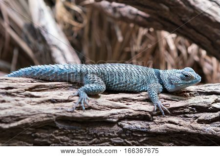 Close-up photo of a Blue spiny lizard (Sceloporus serrifer cyanogenys) resting on a tree.