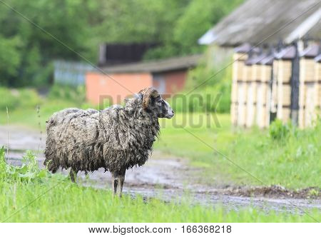 funny dirty kinky sheep stands on a rural road