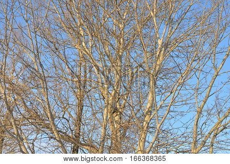 Poplar branches without leaves at sunny winter day.