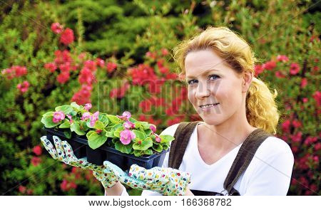 Young woman gardening, holding young flower plants, container-grown plant, woman planting begonia seedlings in garden