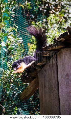 A Black squirrel in the zoo - Sardinia