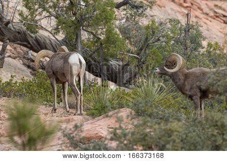 a pair of desert bighorn sheep rams in the fall rut