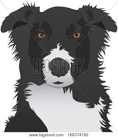 An Australian Shepherd is looking expectantly toward the viewer