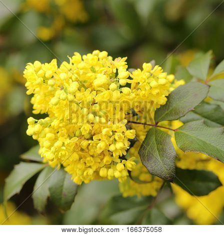 Oregon grape. Clusters of yellow flowers blooming in the early spring.