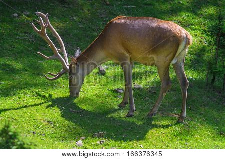 The deer with the horns eat grass.