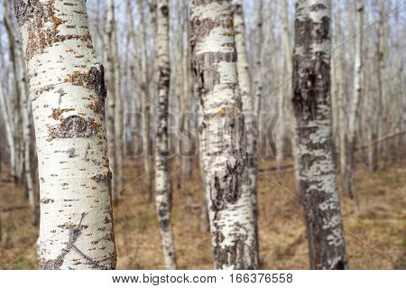 Three birch trees with their tops and bottoms cropped out. There is a cluster of many more birch trees behind these three trees. The season is spring, with yellow grass and blue sky peeking in between this group of trees.