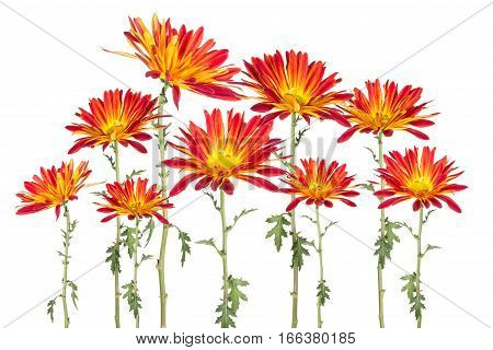 Montage of red and yellow rover daisies isolated on white