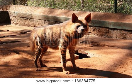 Angry spotted hyena standing in the paddock and looks India