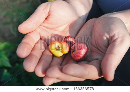 Little apples in the big hands in a bad environment. Show the changes in nature.