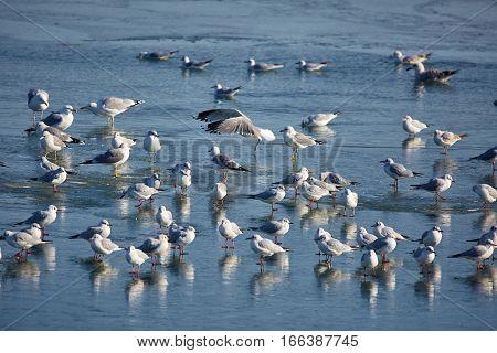 Nursery Of Water Birds On A Frozen River