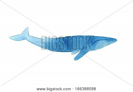 Watercolor Sketch Of Blue Whale. Illustration Isolated On White Background. Realistic Proportions