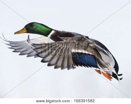 A drake Mallard in flight on a cold winter day