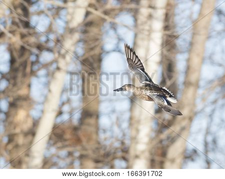A flying Northern young drake shoveler in flight