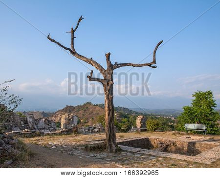 Kangra Fort, a huge dry tree on the background of the Himalayas. Himachal Pradesh, district of Kangra, India.