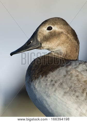 A Female Canvasback Duck in the winter