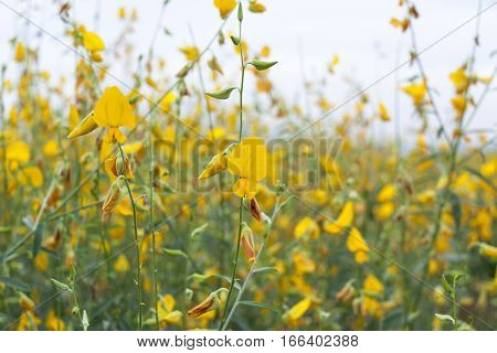 Yellow flower fields in Phetchabun Province of Thailand