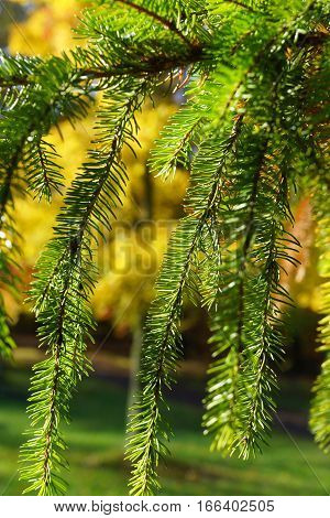 close-up green pine boughs in front of yellow maple leaf background
