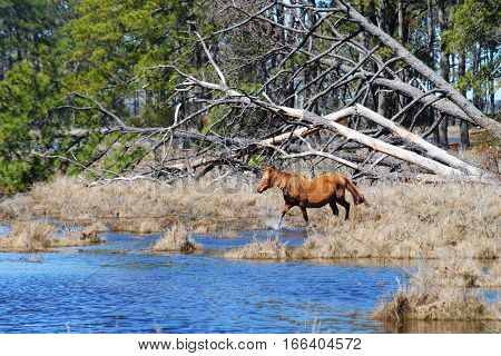 Brown wild pony entering water in marshland with fallen trees in background