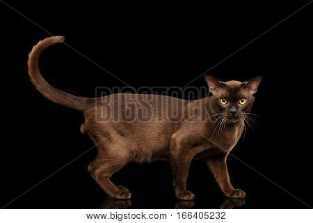 Brown burmese cat standing and Looking in camera, chocolate shining fur on isolated black background, side view