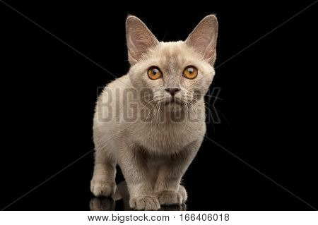 Burmese kitty with platinum color of fur sitting and staring in camera on isolated black background, front view