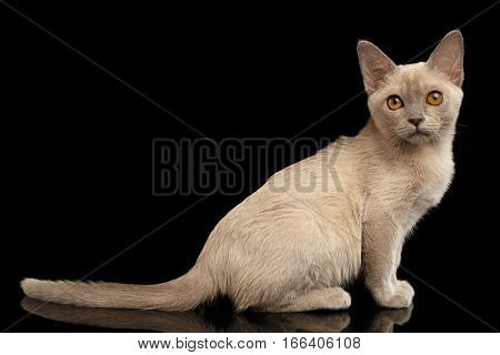 Burmese kitty with platinum color of fur sitting and looking in camera on isolated black background, side view
