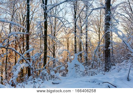 Snowy Forest With Evening Sunlight