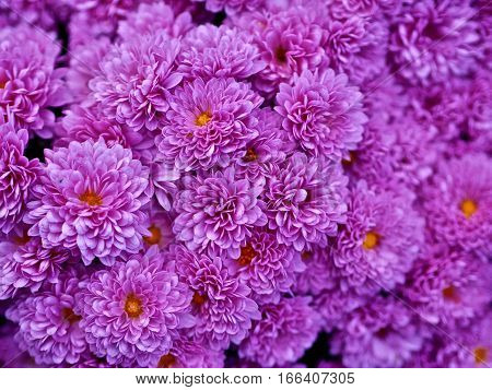 Purple chysantemum. Grouping of colorful fall mums.