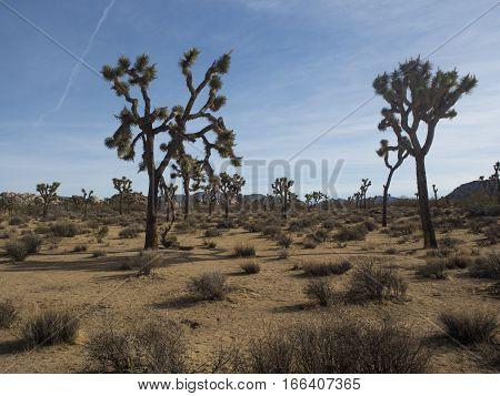 Yoshua trees in desert California perfect winter weather.