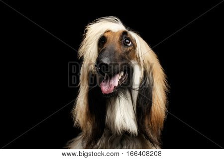 Close-up Headshot of Afghan Hound fawn Dog Happy looking up with grooming hairstyle on isolated Black Background, front view