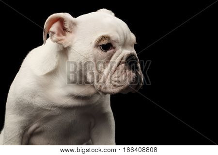 Close-up headshot white puppy british bulldog breed looking side on isolated black background, profile view