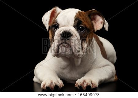 Cute puppy british bulldog breed, white and red color, lying and waiting on isolated black background, front view