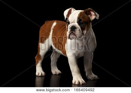 Puppy british bulldog breed, white and red color, standing and waiting on isolated black background, side view