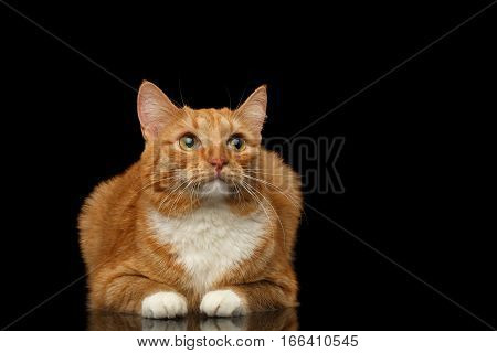 Ginger Cat Lying and sad looking up isolated black background, front view