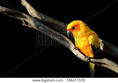 Sun Conure, Beautiful Yellow Parrot Bird