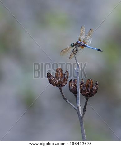 Blue Dasher (Pachydiplax longipennis) Dragonfly resting on a dead plant