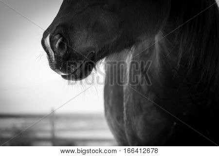 A black quarterhorse's nose. Black and white photography.
