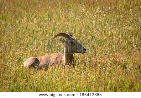 Bighorn Sheep Ewe relaxing in the prairie under a midday sun