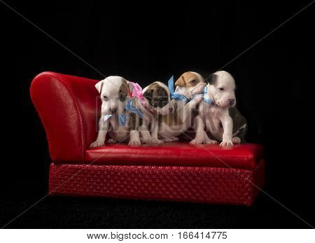 Four Pit-Bull puppies sitting on a red couch.