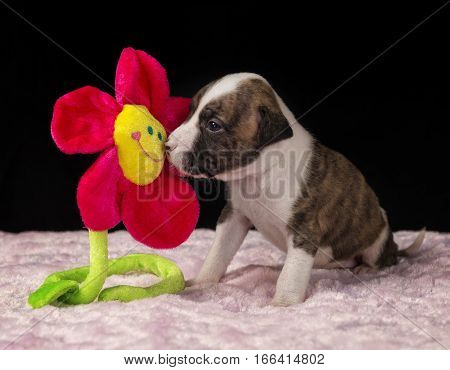 Five week old Pit-Bull puppy smelling a flower.