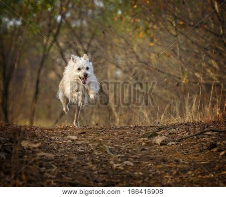 White Terrier mix running over a hill.