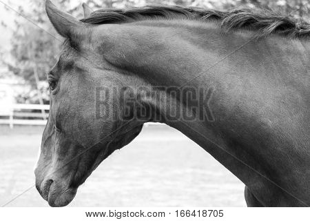 Warmblood Holsteiner mare, Black and white photography.