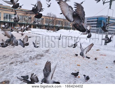 Pigeons flying in a flock towards the camera in a park during winter