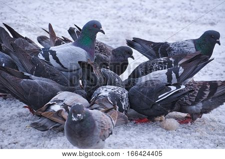 Pigeons in a pack eating on the snow at a park during winter and one is standing.