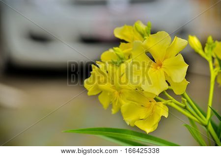 Nerium oleander beautiful yellow flower in the garden