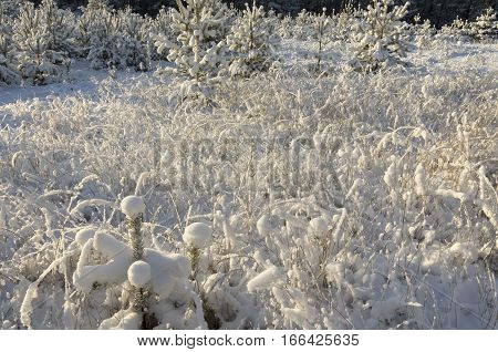 The dry grass brought by snow against the background of snow-covered fir-trees