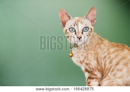 portrait of a domestic cat with green background