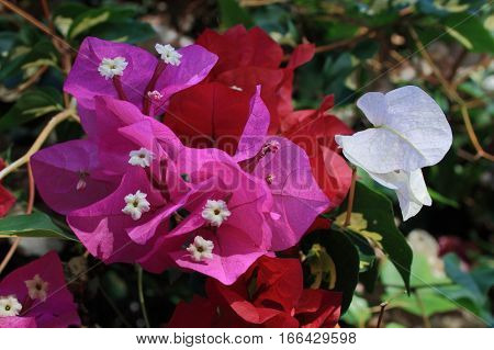 Bougainvillea spectabilis Willd,The flowers, hermaphrodite, usually white, each inserted into a vividly colored bracts white, yellow, pink, magenta, purple, red, orange