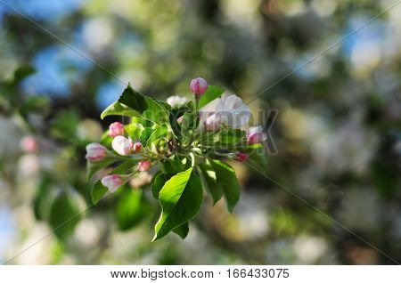 Blossoming branch of apple tree against blue sky at sunset light. Spring apple blossom.
